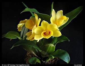 Picture  Photo  Dendrobium Sulcatum  A Species Orchid