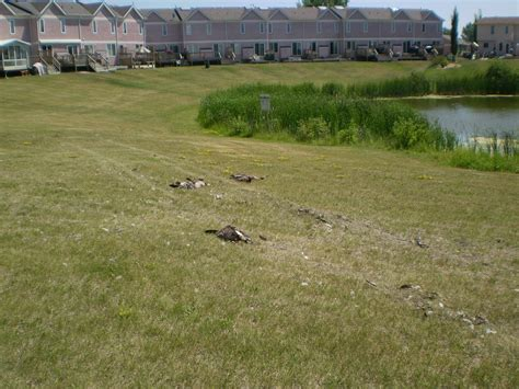 geese killed by vehicle near lake prairie wildlife