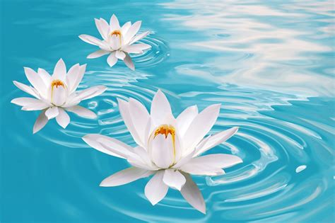 Lotus Flower Hd Wallpapers  Hd Wallpapers (high Definition)  Free Background