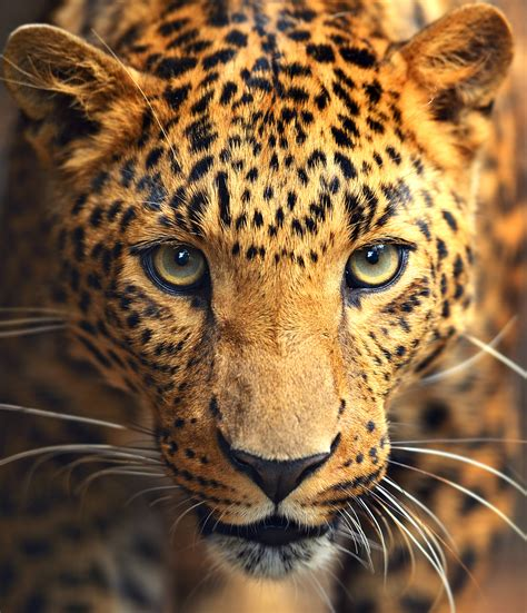 Leopard: All About Leopards and its Biography ...