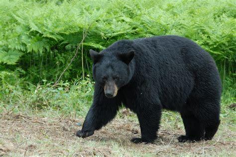 bear     wise  bears