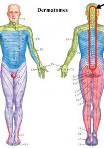 Lumbar Nerve Dermatome Chart