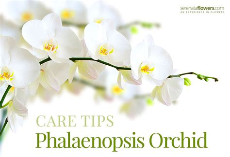how do i care for an orchid after it blooms how to take care of your phalaenopsis orchid pollennation