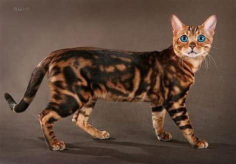 image detail  bengal cat  blue eyes edited