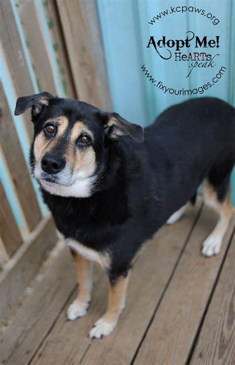adopt   kansas city dogs  adoption  kc paws