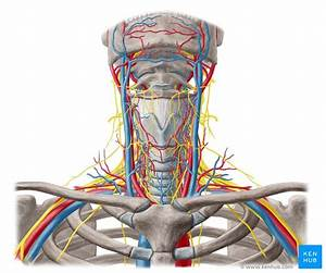 Nerves And Arteries Of Head And Neck  Anatomy  Branches