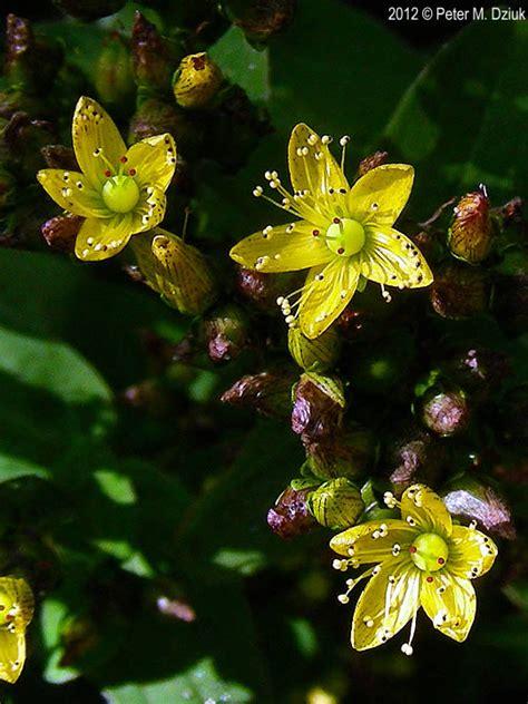 hypericum punctatum spotted st johns wort minnesota wildflowers
