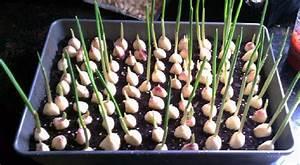 Cultiver De L Ail : voici comment cultiver et r colter de l 39 ail la maison ~ Melissatoandfro.com Idées de Décoration