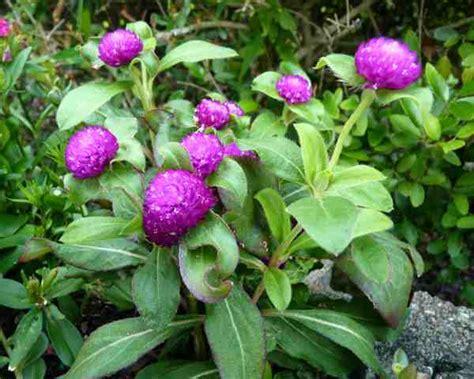 nama latin bunga tanaman hias alamendahs blog