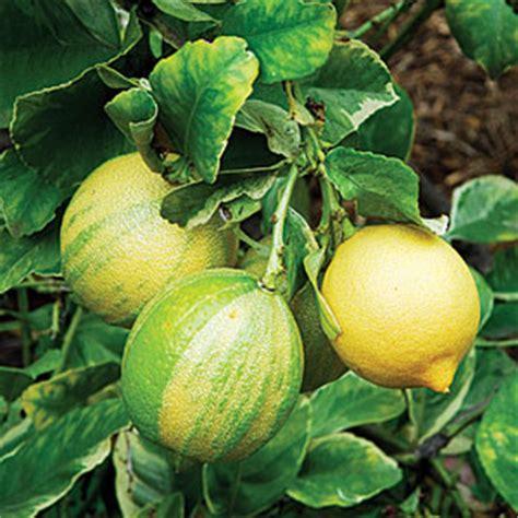 how to grow a eureka lemon tree sunset