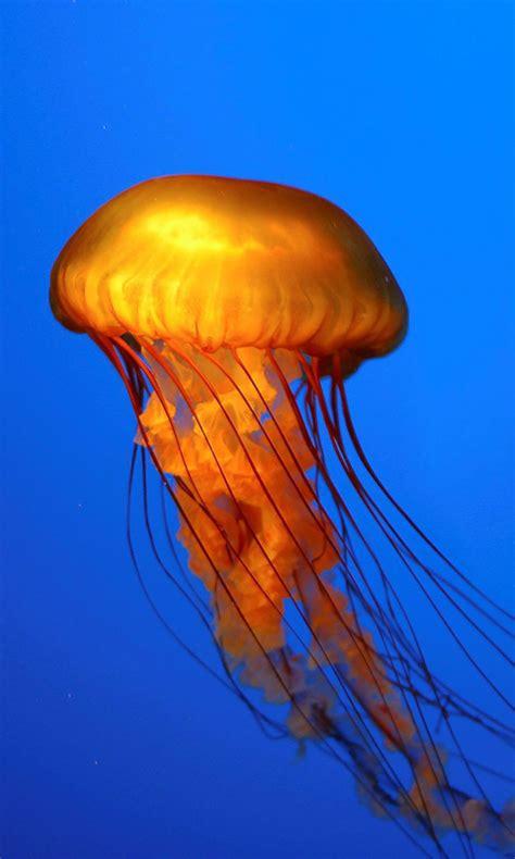 animated jellyfish wallpaper wallpapersafari