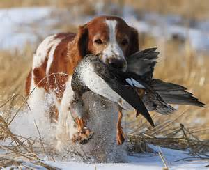 the welsh spring spaniel gun dog magazine