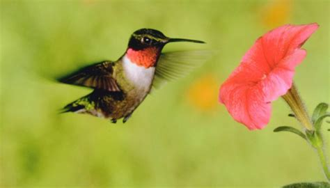 hummingbirds that are common in the state of ohio sciencing