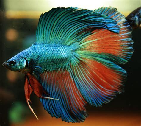 beta fish betta fish nice betta