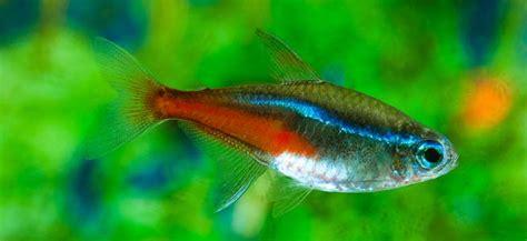 neon tetra behaviour shoaling habitat size water ph