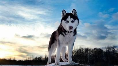 Wallpapers Wolf Husky Definition Desktop Ever Siberian