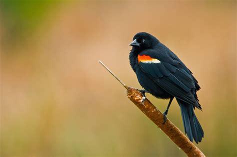 world beautiful birds red winged blackbirds