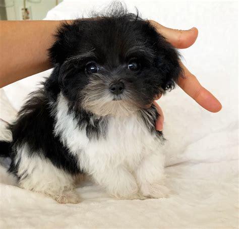 Multicolor Teacup Maltipoo Puppy for sale, female ...