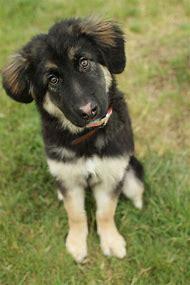 Border Collie German Shepherd Mix Dogs