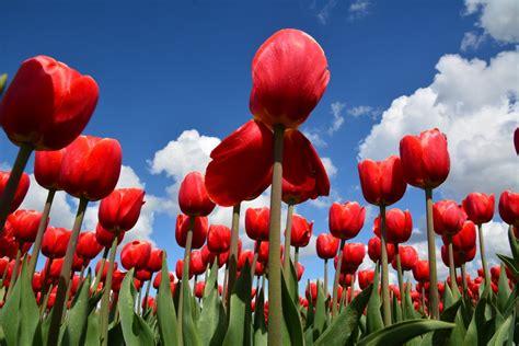 tulpen plukken  flevoland visit flevoland