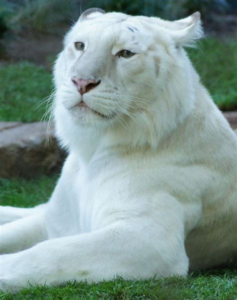 Big Cats Beautiful White Tiger Holly Heckman