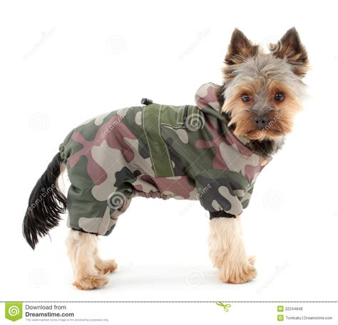 yorkshire terrier  winter clothes royalty  stock
