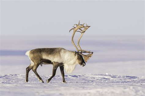 Reindeer Wallpaper Hd by Awesome Reindeer Free Wallpaper Id 256635 For Hd 1440x960