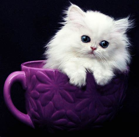 teacup cat best 25 teacup kitten ideas on adorable