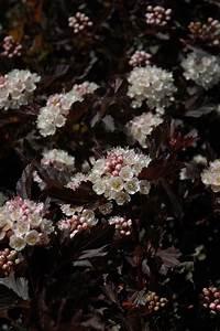 Tiny Wine Ninebark  Physocarpus Opulifolius  U0026 39 Smpotw U0026 39   In