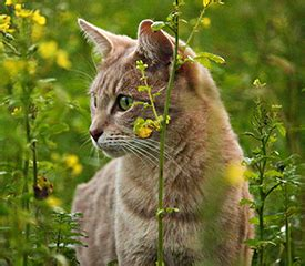 Cats wreak havoc on native wildlife but we ve found one