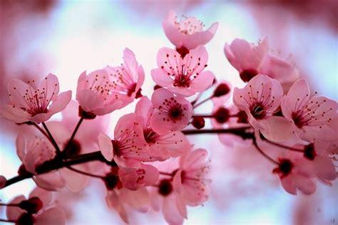 fiore giapponese ciliegio giapponese significato fiori significato