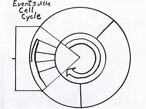 Cell Cycle Drawing Worksheet At Paintingvalley Com