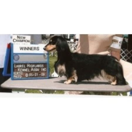 cinart miniature dachshunds dachshund breeder