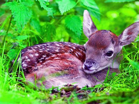 european fallow deer fawn wallpaperscom