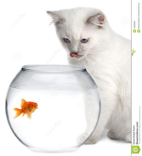 cat   gold fish stock photo image  nature cruel