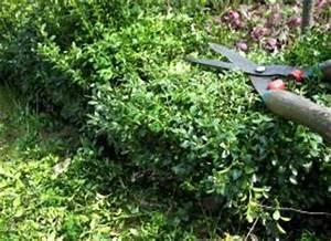 Eibe Schneiden Beste Zeit : buchsbaum buxus selber vermehren buchsus sempervierens anzucht von buchsbaumhecken ~ Frokenaadalensverden.com Haus und Dekorationen