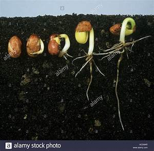 Beneath Soil Showing A Series Of Stages With A Green Bean