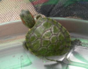 Musk Turtle Shell Shedding by Faqs About Ear Slider Res Turtle Disease Health 2