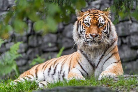 Tiger Photo by Wallpaper Siberian Tiger Zoo Big Cat Hd 5k