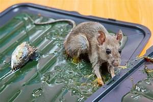 Piege à Rat Efficace : raticide le plus efficace awesome pack anti rats avec ~ Dailycaller-alerts.com Idées de Décoration