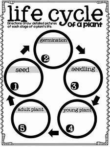 Third Of Life : life cycles graphic organizers and plants on pinterest ~ Orissabook.com Haus und Dekorationen