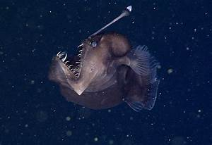 Rare Black Sea Devil Caught on Film for the First Time