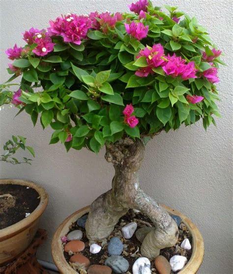 foto merawat bunga bougenville pot bunga
