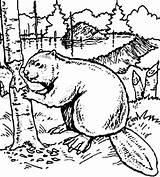 Beaver Coloring Dam Coloringsun Want Build sketch template