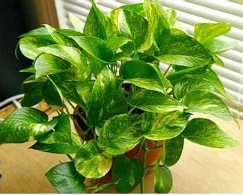 jual tanaman hias pot kecil sirih sirihan ekananda
