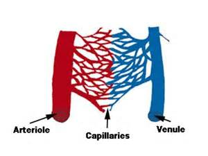 capillary bed