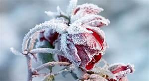 Blumen Im Winter : die beliebtesten winterbl her ~ Eleganceandgraceweddings.com Haus und Dekorationen