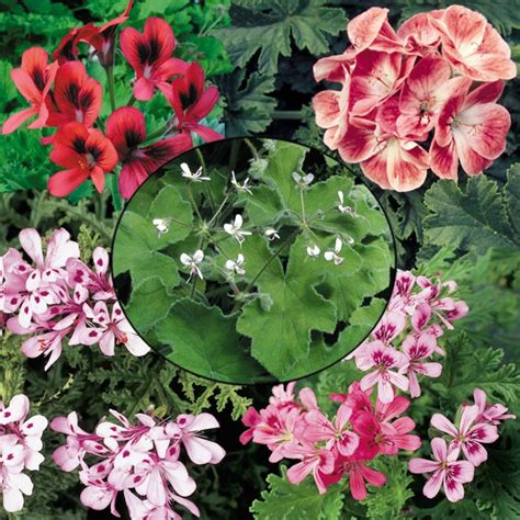how to propagate scented geraniums scented geraniums