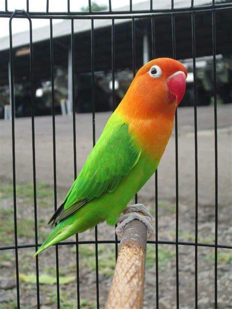 lovebird burung cantik  harganya bisa hingga rp  miliar