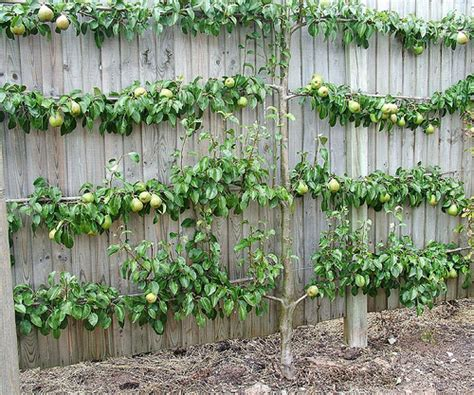pear espalier pear espalier so wonderful on a fence line or for limited spaces a great speciman tree